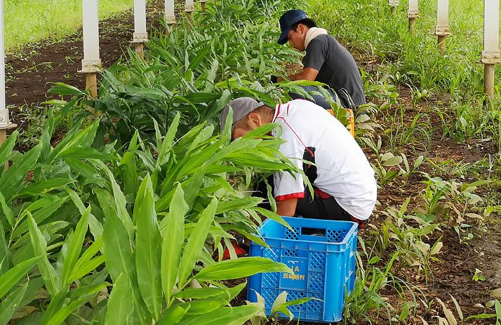 ミョウガ収穫作業