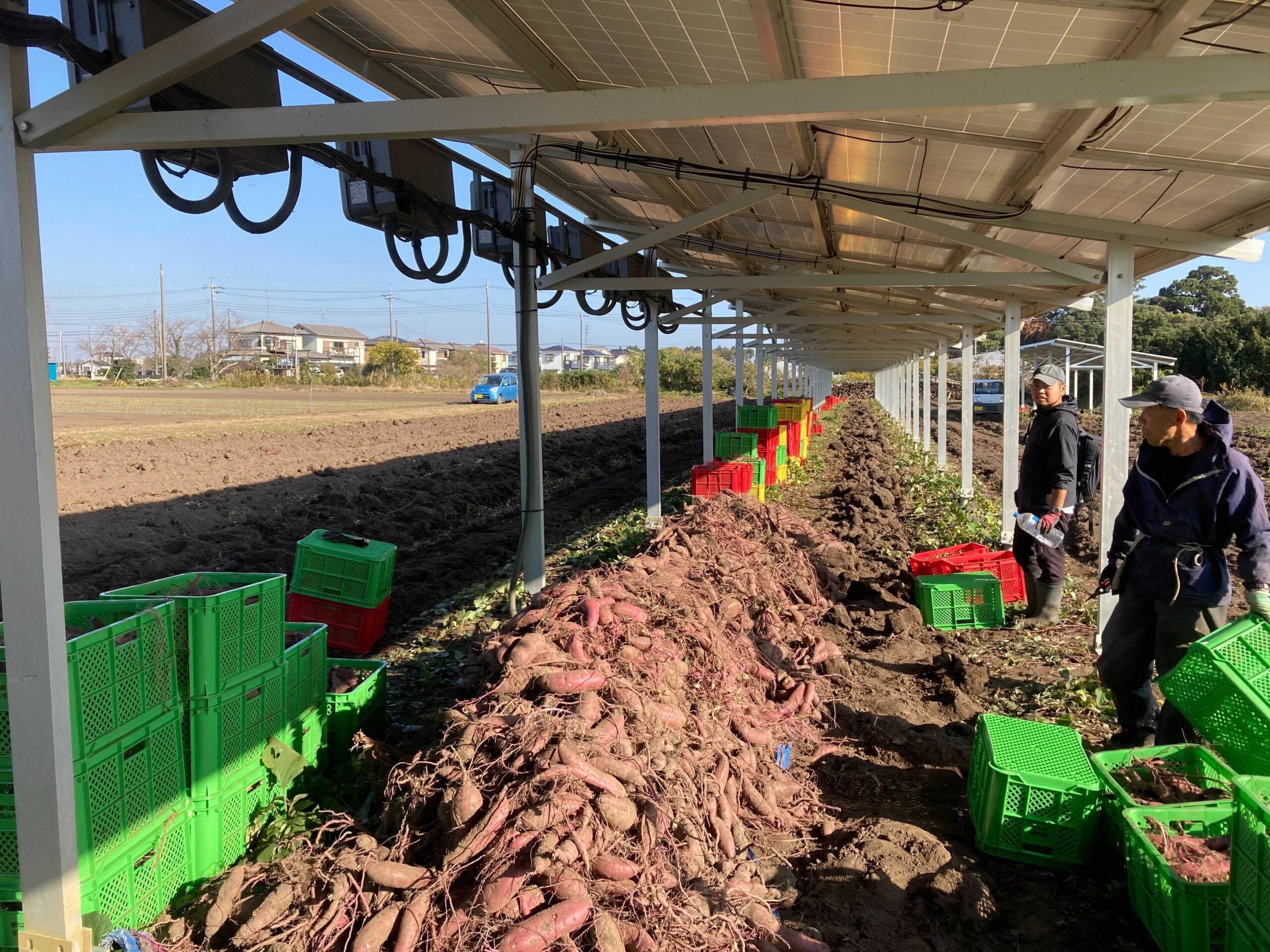 【ソラベジ】来月より、ソーラーシェアリングで育ったさつまいもの収穫を開始します!